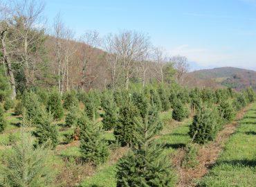 Brushy Mountain Tree Farm